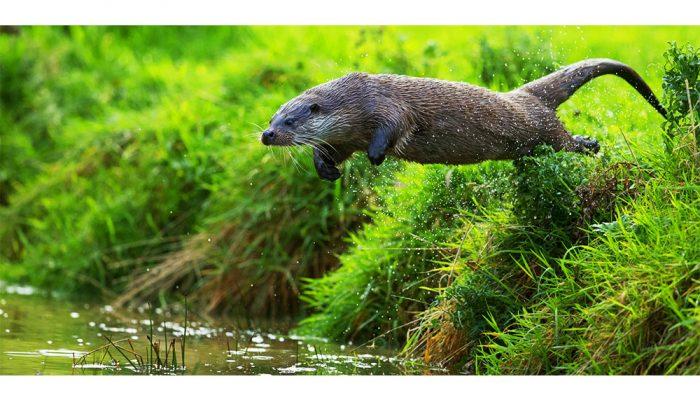 Springende otter